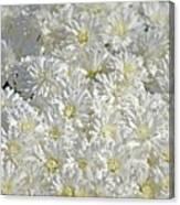 White Mums Canvas Print