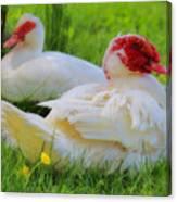 White Muscovy Ducks Canvas Print