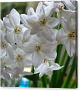 White Narcissi Spring Flower 2 Canvas Print