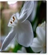 White Narcissi Spring Flower 4 Canvas Print