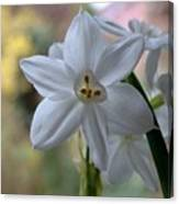 White Narcissi Spring Flowers 3 Canvas Print