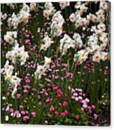 White Narcissus With Pink English Daisies In A Spring Garden Canvas Print