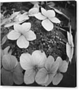 White On Black Hydrangea Petals Canvas Print