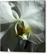 White Orchid In Spring Canvas Print