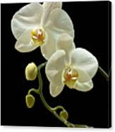 White Orchid On Black Background Canvas Print