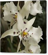 White Orchids 2 Canvas Print
