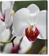 White Orchids 2 Canvas Print