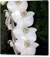 White Orchids California Canvas Print