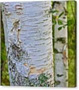 White Paper Birch Bark Along Bike Trail Near Walker-minnesota Canvas Print