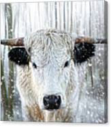 White Park Cattle In The Snow Canvas Print