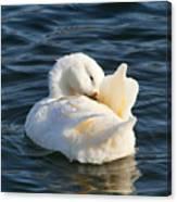 White Pekin Duck In Blue Water Preening Canvas Print
