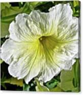 White Petunia - Solanaceae Canvas Print