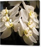 White Phalaenopsis Blossom Canvas Print