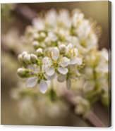 White Plum Blossom Canvas Print