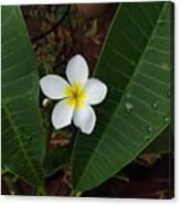 White Plumeria Canvas Print
