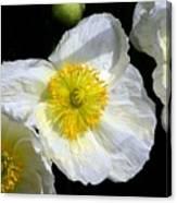 White Poppy Trio Photograph Canvas Print
