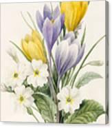 White Primroses And Early Hybrid Crocuses Canvas Print