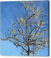 White Redbud Tree In May Canvas Print