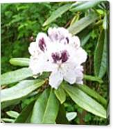 White Rhodie Canvas Print