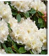 White Rhodies Landscape Floral Art Prints Canvas Baslee Troutman Canvas Print