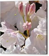 White Rhodies Pink Rhododendrons Flowers Art Prints Canvas Botanical Baslee Troutman Canvas Print
