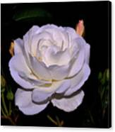 White Rose 006 Canvas Print