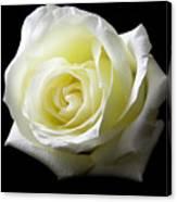 White Rose-11 Canvas Print