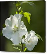 White Rose Of Sharon Squared Canvas Print