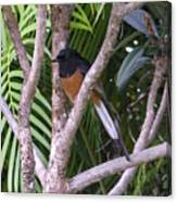 White Rumped Shama Canvas Print