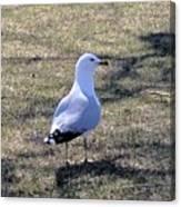 White Seagull Canvas Print