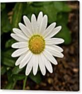 White Shasta Daisy In The Rain Canvas Print