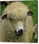 White Sheep Canvas Print