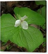 White Spring Trillium Canvas Print