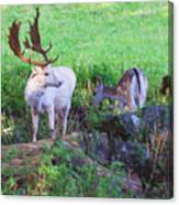 White Stag And Hind Canvas Print