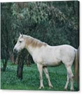 White Stallion In The Woods  Canvas Print