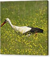 White Stork Looking For Frogs Canvas Print