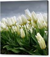 White Stormy Tulips Canvas Print