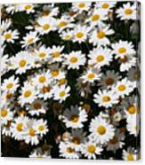 White Summer Daisies Canvas Print