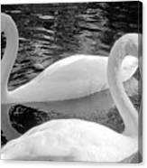 White Swans Canvas Print