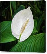 White Tail-flower Canvas Print