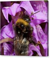 White-tailed Bumblebee On Southern Marsh Orchid Canvas Print