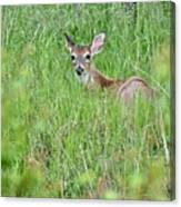 White-tailed Deer Bedded Down In Tall Grass Canvas Print