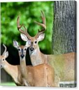 White-tailed Deer Family Canvas Print
