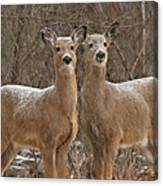White-tailed Deer Pair Peering Out From Snowstorm Canvas Print