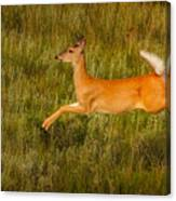 White-tailed Doe Leaping Canvas Print