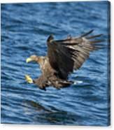 White-tailed Eagle Taking Fish Canvas Print