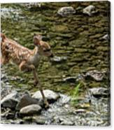 White-tailed Fawn At Vichy Springs Resort In Ukiah Canvas Print