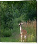 White Tailed Canvas Print