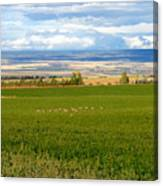 White Tails In The Field Canvas Print