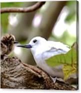 White Terns Koa And Parent...bird Love Canvas Print